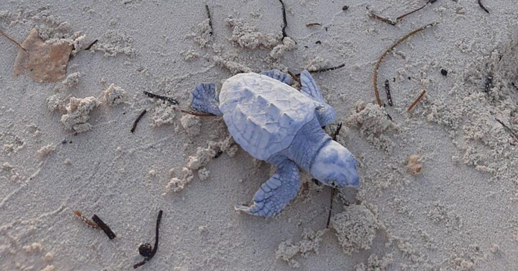 MSC Cruises Ocean Cay Turtle Hatchlings