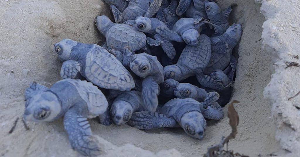 MSC Ocean Cay Turtle Hatchlings