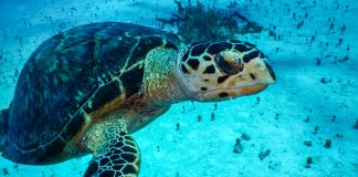 Ocean Cay Turtles - credit Conrad Schutt